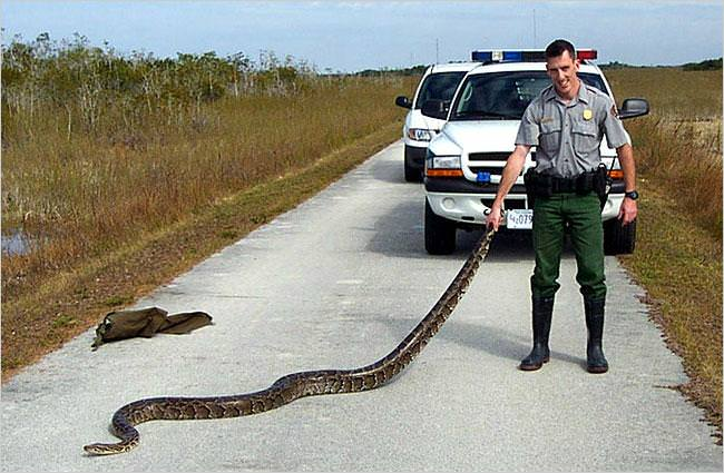 pythons in everglades. a pig and a python