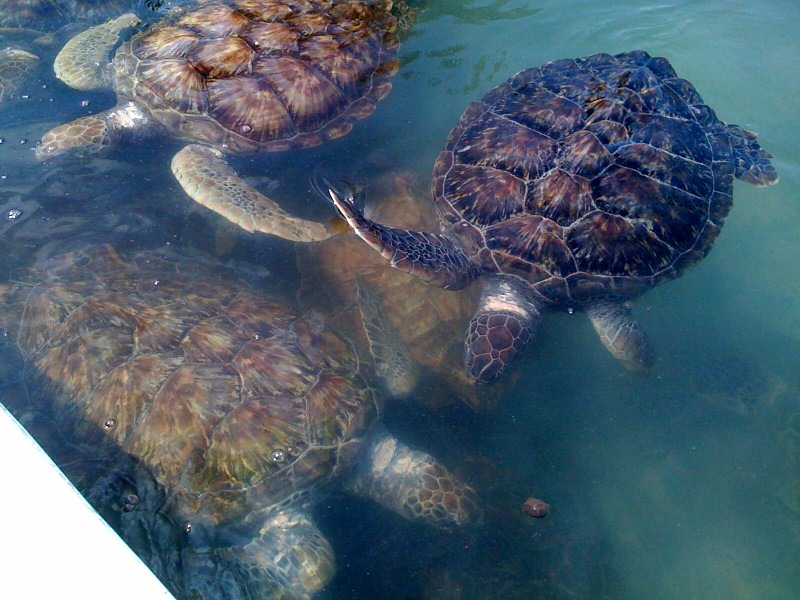 Cayman turtles